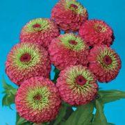 Z-Flower Seeds - Z