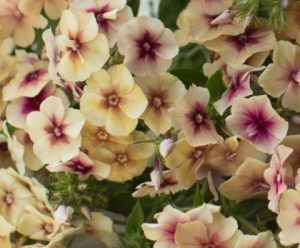 Image result for phlox drummondii