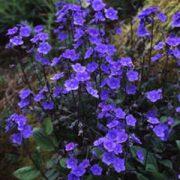 O - Flowers Seeds - O