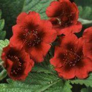 P - Flower Seeds - P