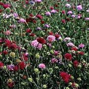 K Flower Seeds - K